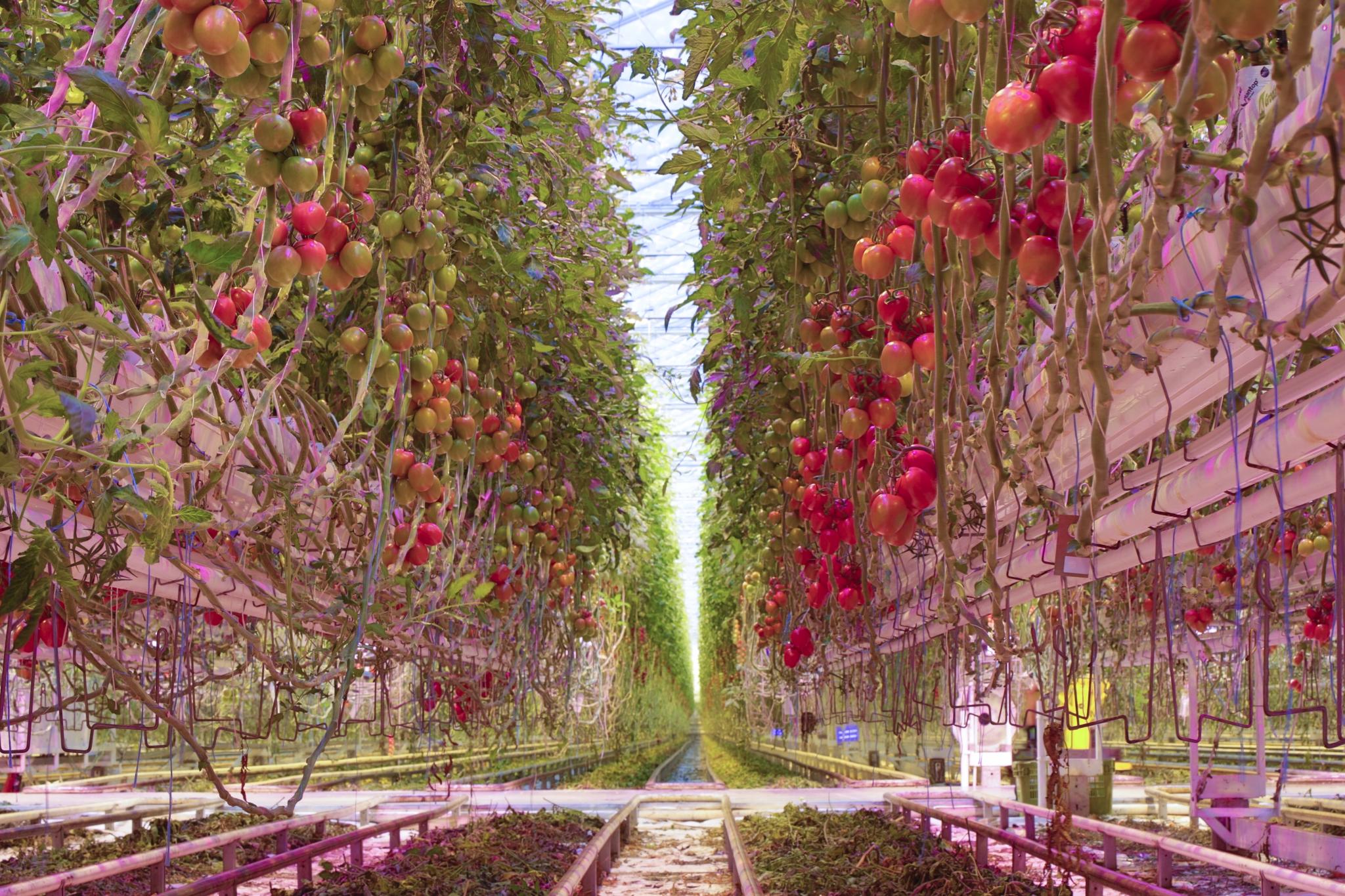 Hortipower Merksplas tomaten teelt tuinbouw