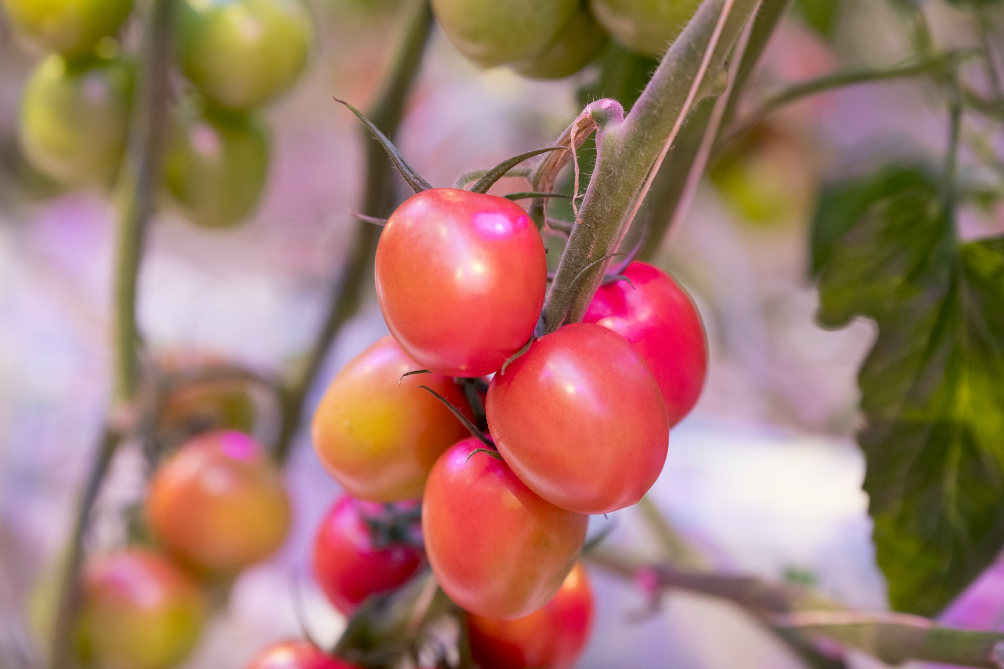 Hortipower Oreon tomaten teelt gewas tuinbouw