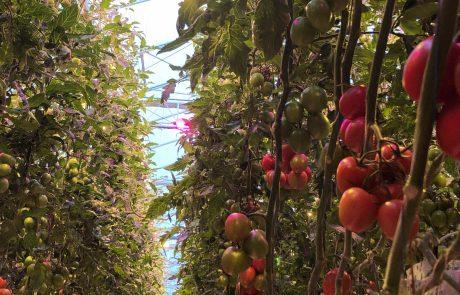 Hortipower Oreon led hybride belichting tuinbouw en gewas