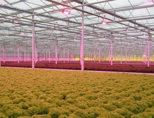 Ledverlichting populairder in glastuinbouw